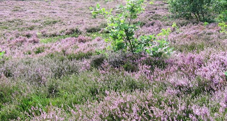 Heideblüte auf Amrum